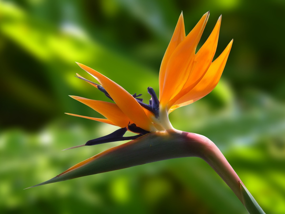 blossom-bloom-strelitzia-flowers-60899